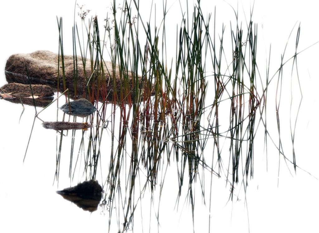 Photograph of rocks and water grasses in a lake in Maine
